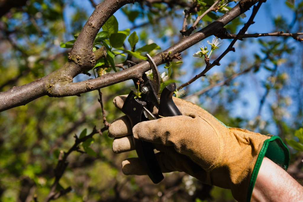 One gloved hand pruning branches in the yard