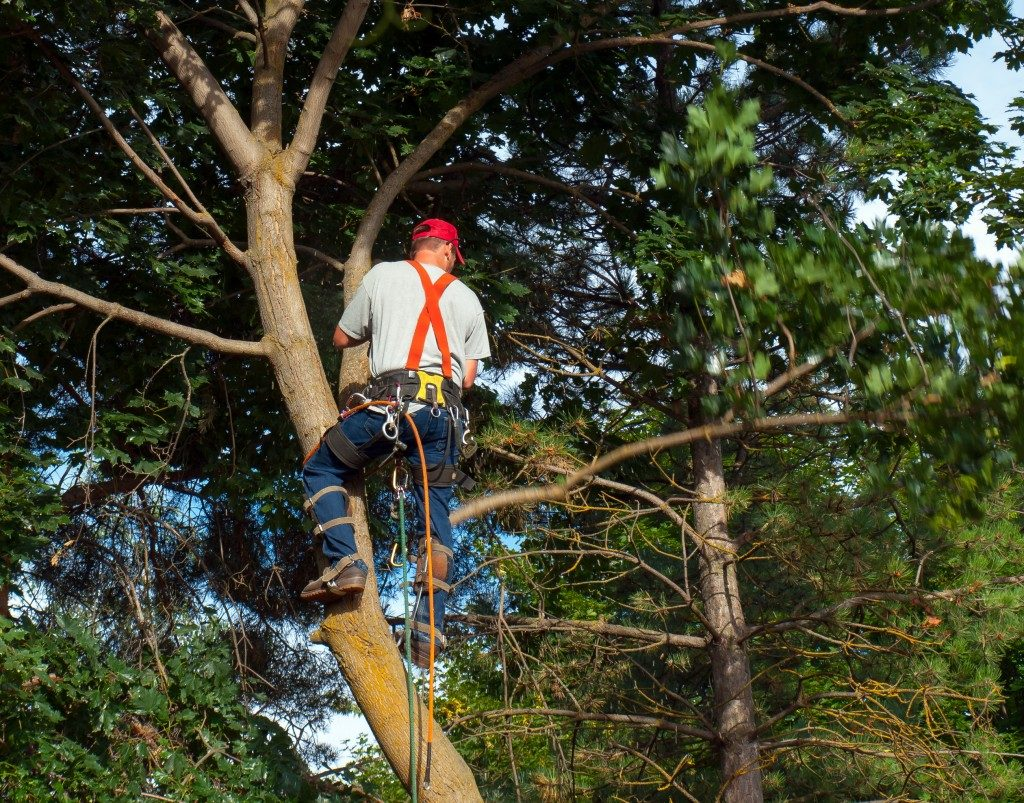 An Arborist trimming a maple tree