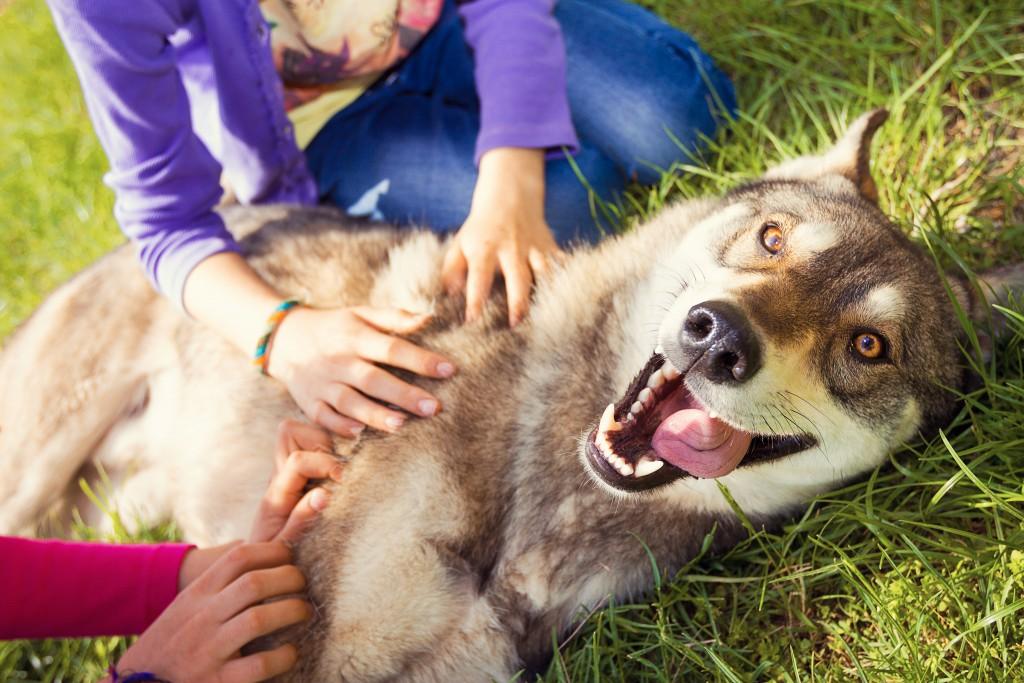 Playing with pet siberian husky