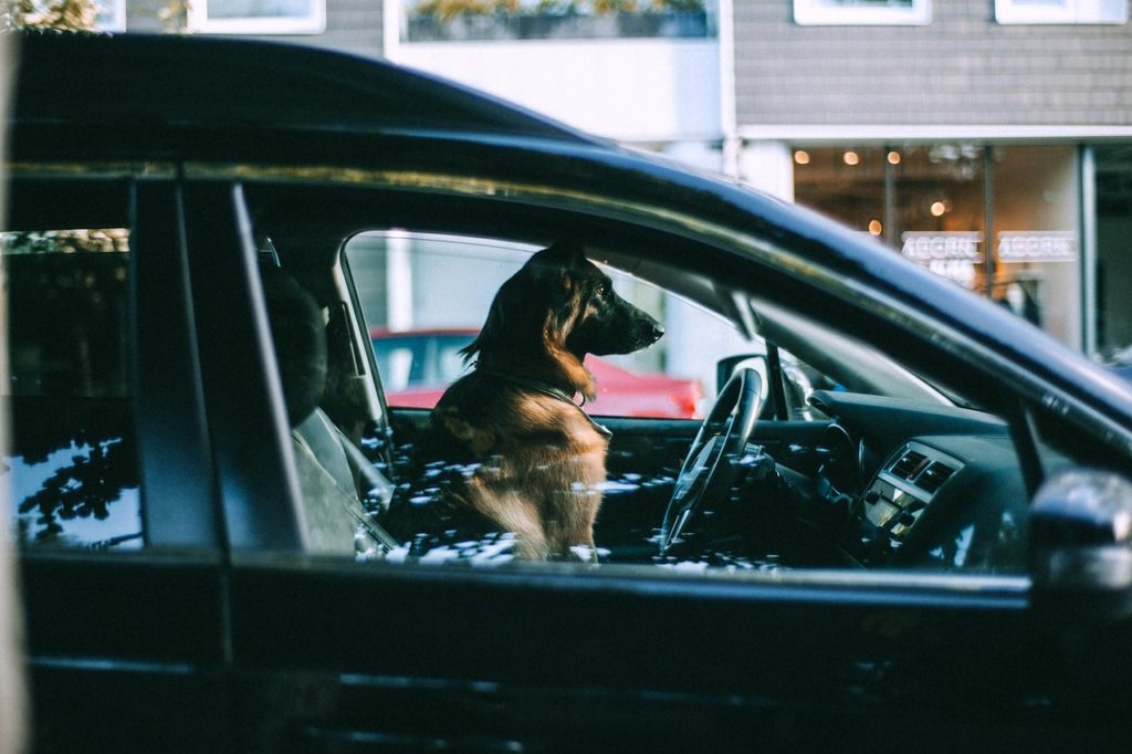 dog in a car ready for travel